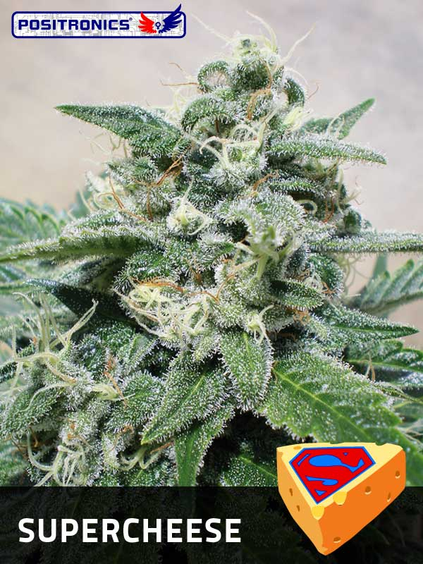 Super Cheese Feminised Cannabis Seeds | Positronics