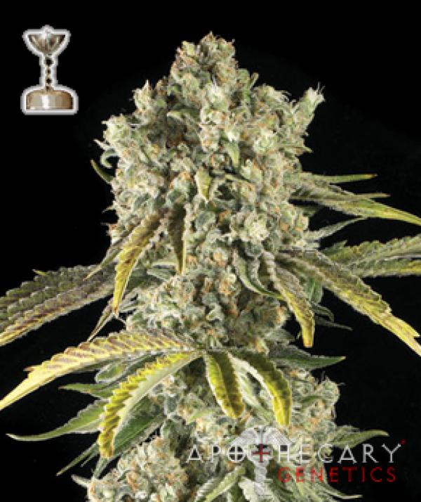 Tahoe OG Regular Cannabis Seeds   Apothecary Genetics Seeds