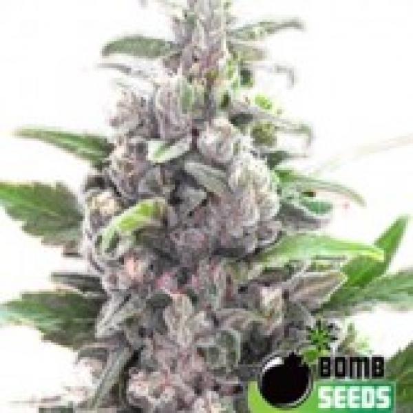THC Bomb Cannabis Seeds | Bomb Seeds