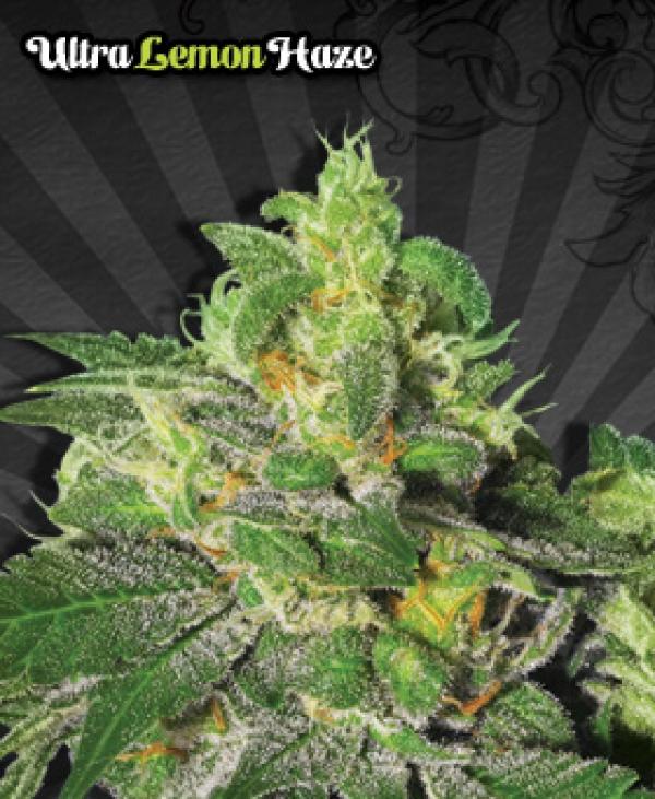 Ultra Lemon Haze Auto flowering Feminised Cannabis Seeds | Auto Seeds