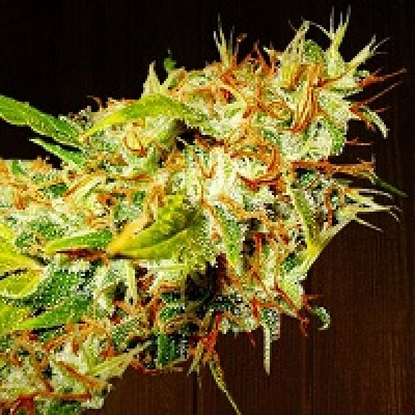 Zamaldelica Regular Cannabis Seeds | Ace Seeds