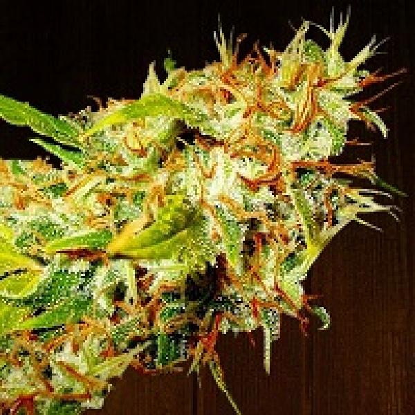 Zamaldelica Regular Cannabis Seeds   Ace Seeds