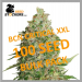 BCN Critical XXL Feminised Cannabis Seeds | 100 Seed Bulk Pack