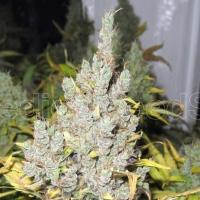 2046 Feminised Cannabis Seeds