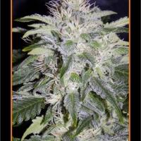 24 Carat Auto Feminised Cannabis Seeds | Mephisto Genetics
