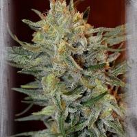 Amnesia Lemon Kush Feminised Cannabis Seeds | Garden of Green