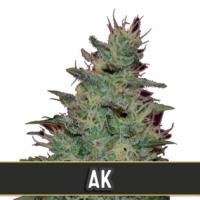 AK Automatic Feminised Cannabis Seeds | Blim Burn Seeds