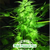 Auto Relax Feminised Cannabis Seeds   Dispensario Seeds
