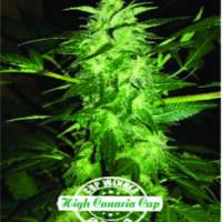 Auto Relax Feminised Cannabis Seeds | Dispensario Seeds