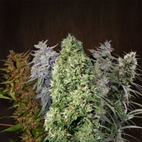 Ace Mix Regular Cannabis Seeds | Ace Seeds