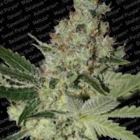 Acid Feminised Cannabis Seeds | Paradise Seeds