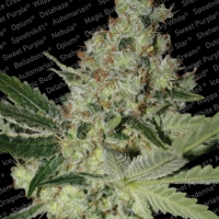 Acid Feminised Cannabis Seeds | Paradise Seeds