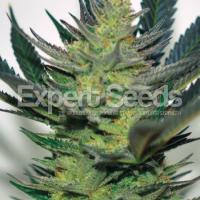 Afghan Skunk Feminised Cannabis Seeds | Expert Seeds