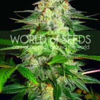 Afghan Kush Ryder Auto Feminised Cannabis Seeds