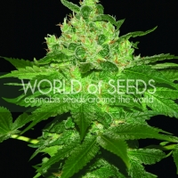 Afghan Kush Feminised Cannabis Seeds | World of Seeds