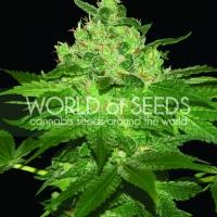 Afghan Kush Feminised Cannabis Seeds | World of Seeds