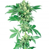 Afghani #1 Regular Cannabis Seeds | Sensi Seeds