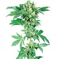 Afghani #1 Feminised Cannabis Seeds | Sensi Seeds