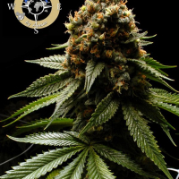 Afghanica Feminised Cannabis Seeds - Anesia Seeds