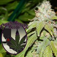Alien OG Regular Cannabis Seeds | Purple Caper Seeds