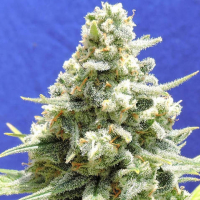 Amnesia Lemon Kush Feminised Cannabis Seeds | Original Sensible Seeds