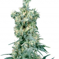 American Dream Regular Cannabis Seeds | Sensi Seeds