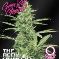 Amnesia (The Real) Auto Feminised Cannabis Seeds - Growers Choice