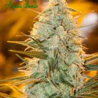 Amnesia Flash Feminised Cannabis Seeds - Anesia Seeds