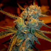Amnesia Haze Feminised Cannabis Seeds - BSB Genetics