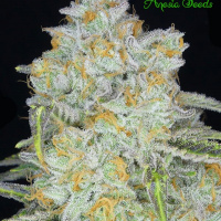 Auto Amnesia Flash Feminised Cannabis Seeds - Anesia Seeds