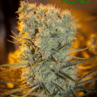 Auto Banana Kush Feminised Cannabis Seeds - Anesia Seeds