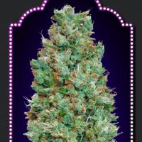 Auto Blueberry Feminised Cannabis Seeds | OO Seeds