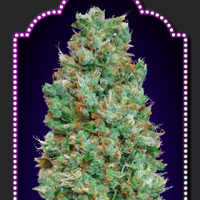 Auto Blueberry Feminised Cannabis Seeds | OO Seeds