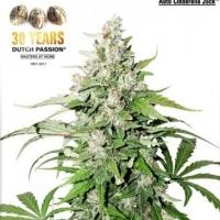 Auto Cinderella Jack Feminised Cannabis Seeds | Dutch Passion