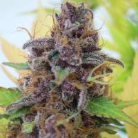 Auto Gelato Feminised Cannabis Seeds | The Original Sensible Seed Company