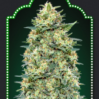 Auto White Widow Feminised Cannabis Seeds | OO Seeds