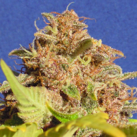 Auto Wedding Cake Feminised Cannabis Seeds | The Original Sensible Seed Company