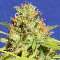 Auto Zkittlez Feminised Cannabis Seeds   The Original Sensible Seed Company