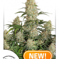 Auto Critical Orange Punch Feminised Cannabis Seeds | Dutch Passion