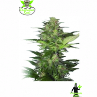 Auto Red White Dwarf  Feminised Cannabis Seeds | Dispensario Seeds