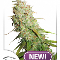 Auto Desfrán Feminised Cannabis Seeds | Dutch Passion