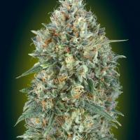 Auto Gelato # 33 Feminised Cannabis Seeds | Advanced Seeds