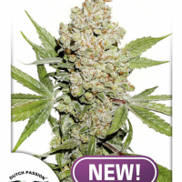 Auto Lemon Zkittle Feminised Cannabis Seeds | Dutch Passion