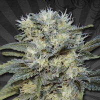 Auto Chemdog Auto flowering Feminised Cannabis Seeds | Auto Seeds