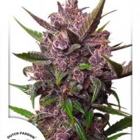 Auto Blackberry Kush Auto Feminised Cannabis Seeds | Dutch Passion