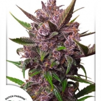 Auto Blackberry Kush Auto Feminised Cannabis Seeds | Dutch Passion