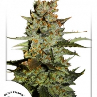 Auto Blueberry Auto Feminised Cannabis Seeds | Dutch Passion