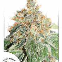 Auto Daiquiri Lime Autoflowering Feminised Cannabis Seeds | Dutch Passion