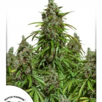 Auto Mazar Auto Feminised Cannabis Seeds | Dutch Passion
