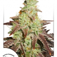 Auto Night Queen Autoflowering Feminised Cannabis Seeds | Dutch Passion